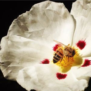Bee on white, red and yellow flower
