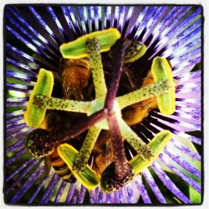 bees in passionflower