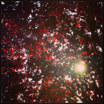 Light through red leaves